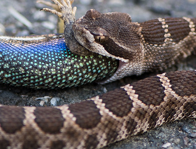Rattlesnake Eating Lizard