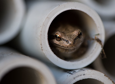 Tree Frog in a Pipe