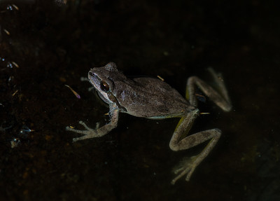 Tree Frog in Water at Night