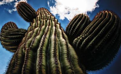 Saguaro Cactus- Photograph taken in Chandler, Arizona
