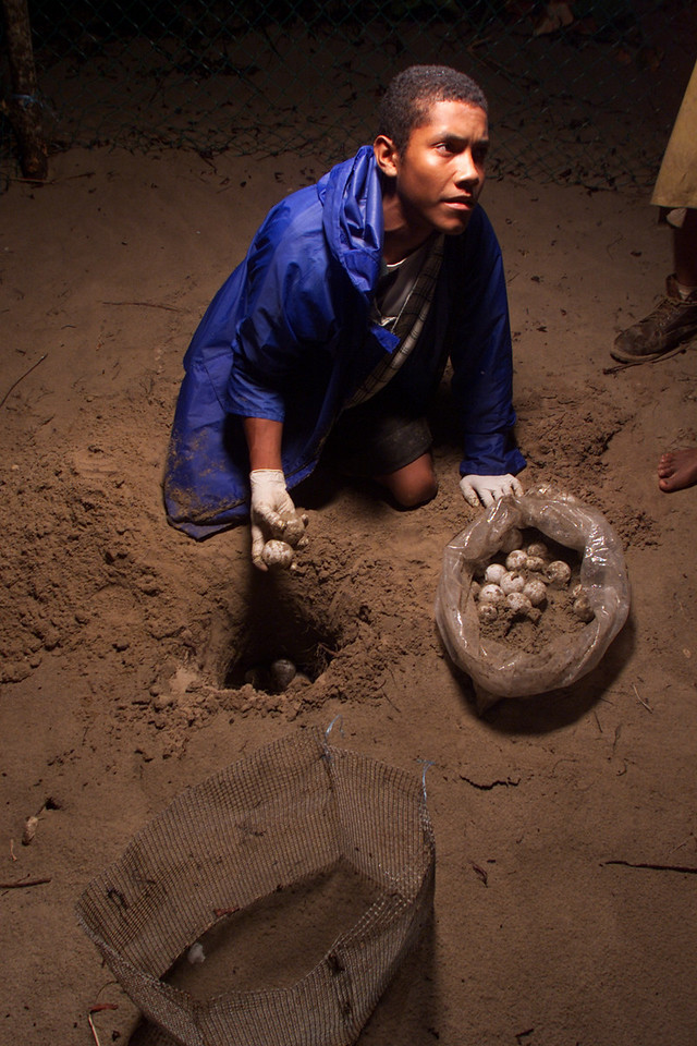 A young member of the Mopowi commitee carefully places the eggs in a hand-dug hole at the protective nursery as others take down notes reguarding the egg count and other statistical information April 10, 2002 in Plaplaya, Eastern Honduras.  The eggs will guarded until they hatch in approxemately 60 days. Mopowi, a privately funded group dedicated to the development of the Moskitia region, heads several conservation projects.  Photo by Max Trujillo