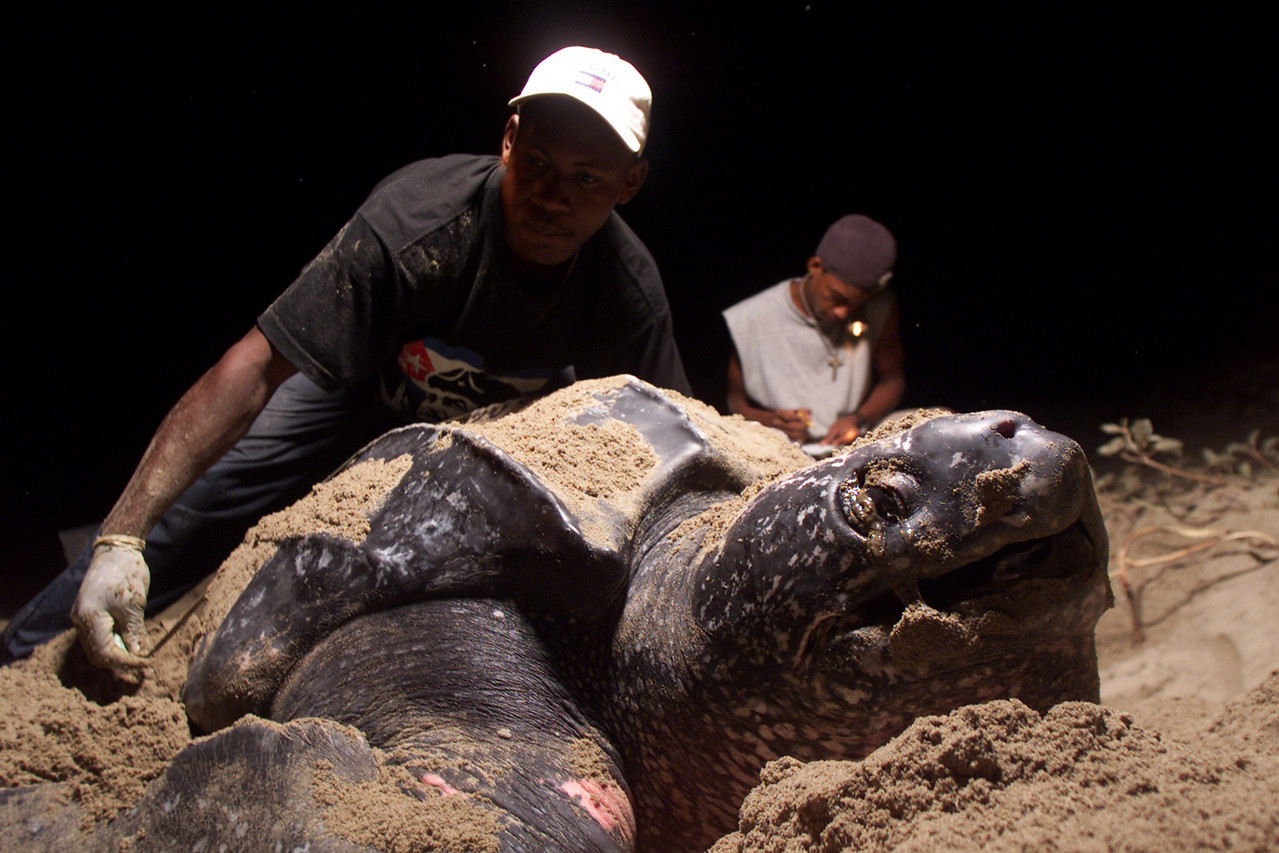 A giant Leatherback turtle lays her eggs in the sand as local volunteers take measurements April 10, 2002 in Plaplaya, Honduras. Mopawi, a group dedicated to the developement of the Moskitia region, has trained locals to conserve the endangered turtles' nests from poachers. Local members organize patrols throughout the night in an effort to find and transport the eggs to a secured location guarded by the group.