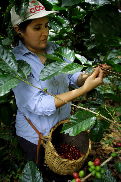 Maria Rivera picks coffee on her organic farm March 6, 2002 in Catacamas, 135  km northeat of Tegucigalpa, Honduras. As falling international coffee prices have devastated  thousands of farmers across Central America,  organic farms with their lucrative niche market in Europe and North America, continue to make a profit. REUTERS/ Adam Bernstein. TO GO WITH STORY ALIMIENTOS HONDURAS