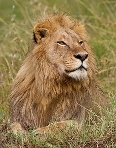 African Lion - 2
