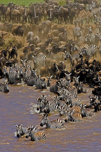 Wildebeest & Zebra Migration (vertical)
