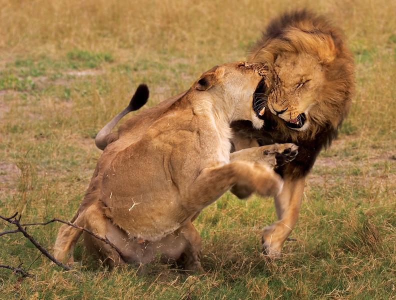 African Lion Love Bit
