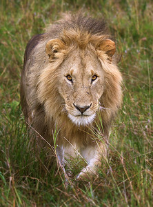 African Young Lion