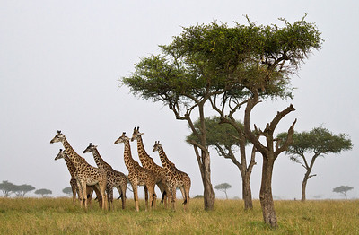 Giraffe Tower with Tree