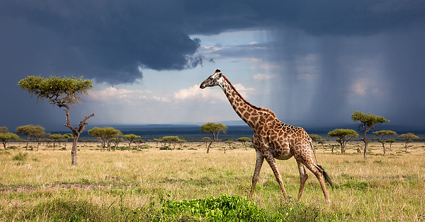 Giraffe with Stormy Sky