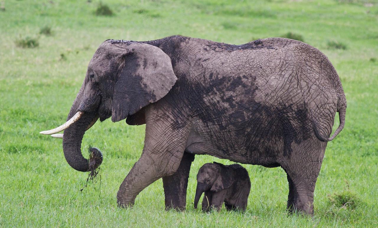 African Elephant Mother & Calf - 2