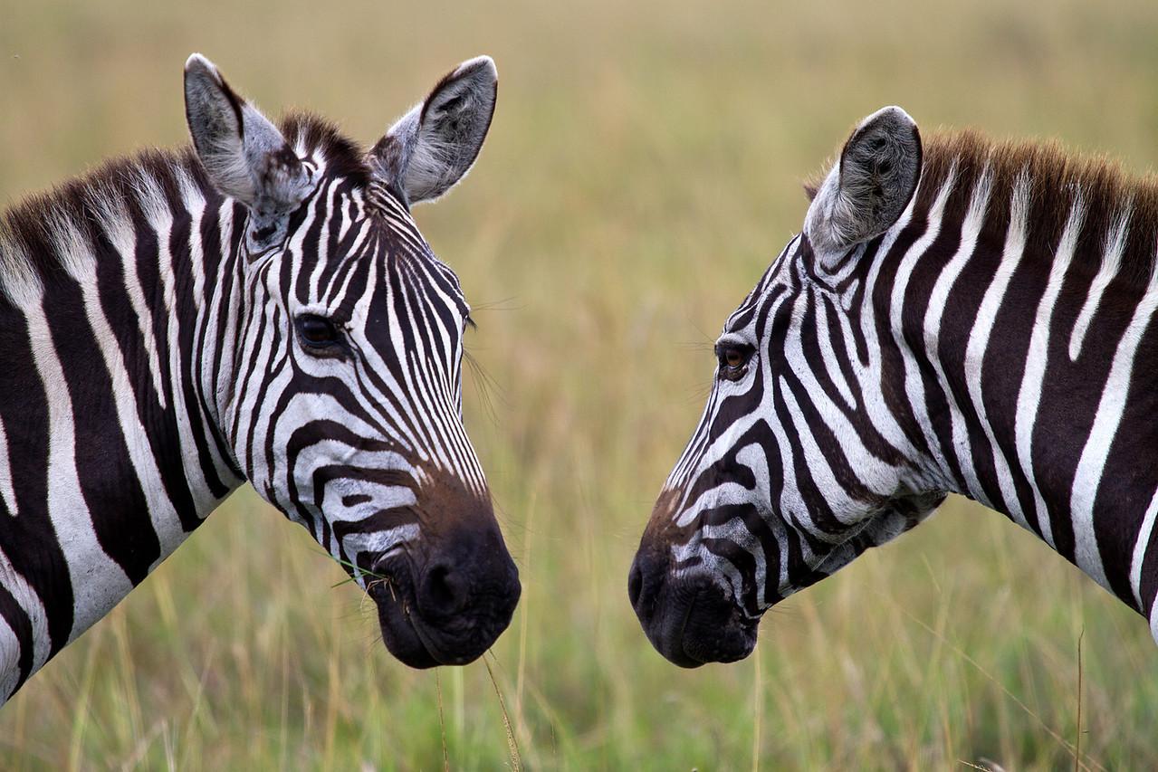 Zebra face to face