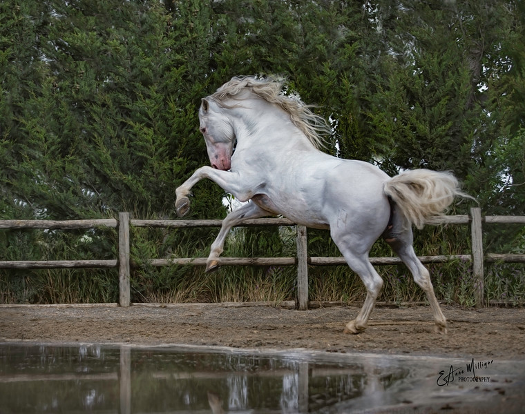 PRE Stallion ARGENTINO XXV, Yeguada de la Cartuja, Jerez, Spain