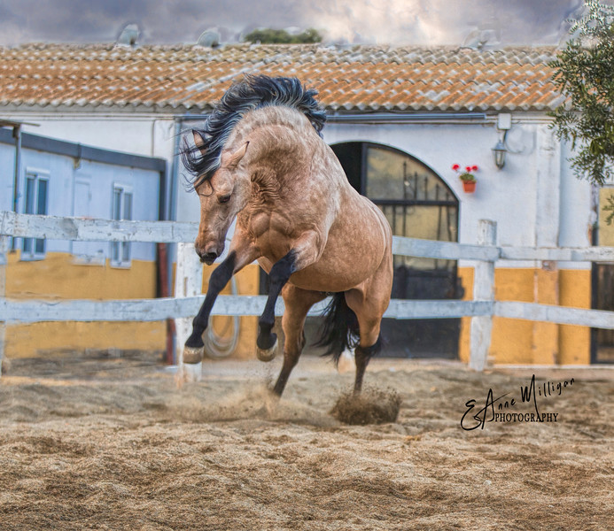 PRE Stallion Zorongo owned by Tomas Santiago, Club Hípico Tomas Santiago, Cabrils, Spain