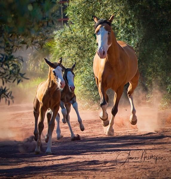 PRE mare Laurel GT and foals, Yeguada Sierra de la Espada, Murcia Spain