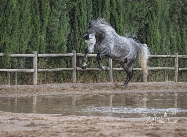PRE Stallion, Yeguada de la Cartuja, Jerez, Spain