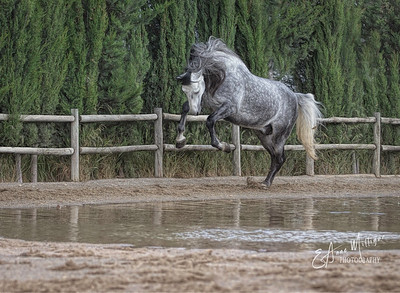 PRE Stallion, Yeguada de la Cartuja, Jerez, Spain