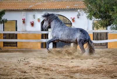 PRE Stallion TH Náutico owned by Tomas Santiago Solana, Club Hípico Tomas Santiago, Cabrils, Spain