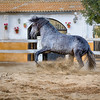 PRE Stallion TH Náutico owned by Tomas Santiago Solana, Club Hípico Tomas Santiago, Cabrils, Spain