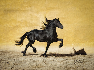 Freisian Stallion Ares,  Frisones de la Cruz, Amposta, Spain