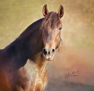 PRE Stallion Zedin, Yeguada Sierra de la Espada,  Murcia Spain