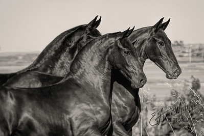 Young Freisian  stallions,  Frisones de la Cruz, Amposta, Spain