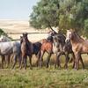 Young PRE stallions, Yeguada de la Cartuja, Jerez, Spain