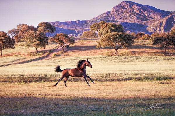 PRE Stallion at dawn, Yeguada La Yedra, Antequera, Málaga, Spain