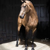 Fuego FG, Lusitano Stallion owned by Clémence Faivre, Jerez, Spain