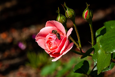 Bee on a Rose