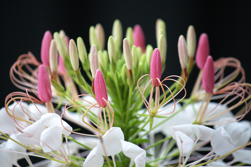 Courtyard Cleome