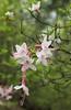 Flowering tree at Cherry Log