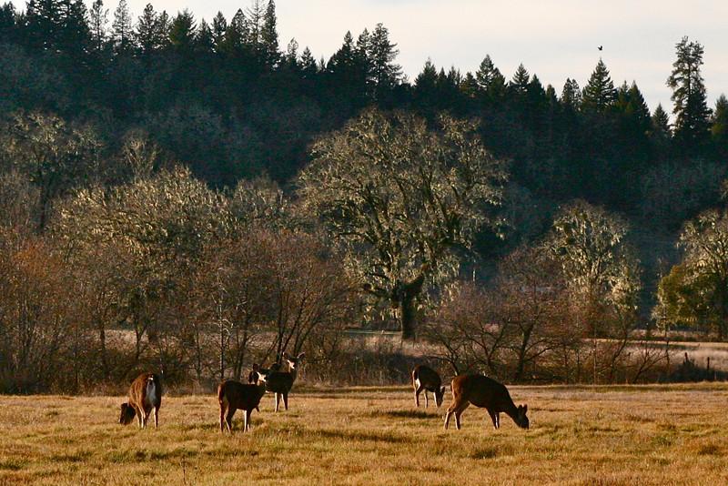 Deer in Willits