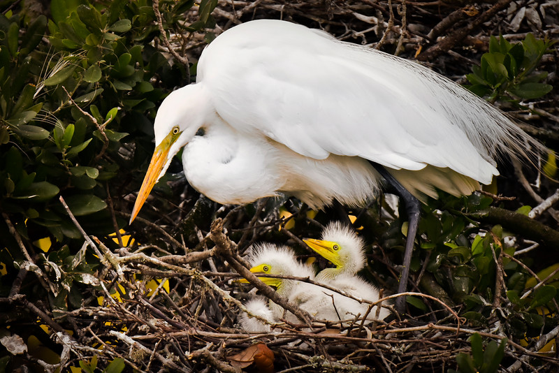 """""""Great Egret With Chicks"""""""