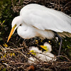 """Great Egret With Chicks"""