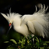"""Snowy Egret In Breeding Plumage"""