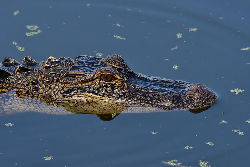 """Alligator In Water"""