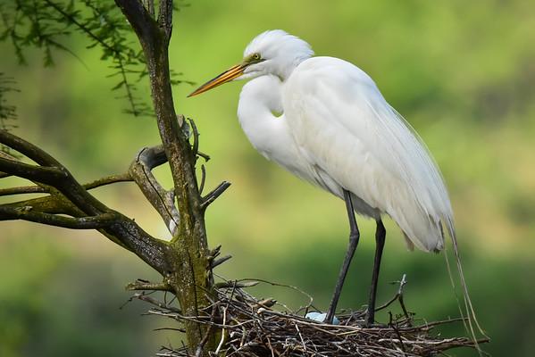 """""""Nesting Egret"""""""