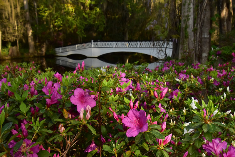 """Azaleas At Magnolia Plantation"""