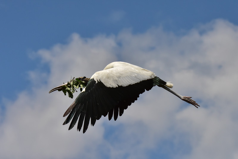 """""""Wood Stork With Nesting Materials"""""""