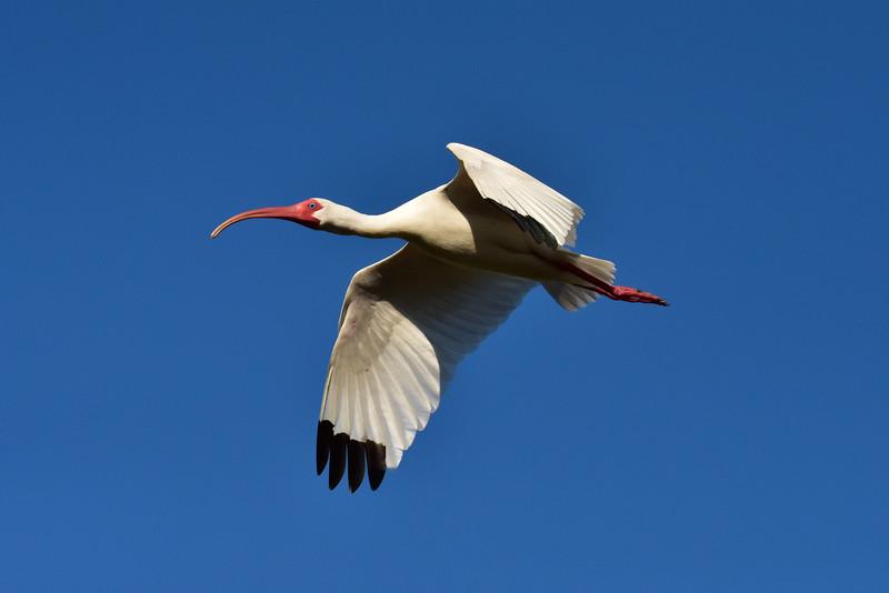 """""""White Ibis"""""""