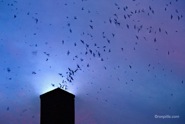 A SWOOP OF SWIFTS