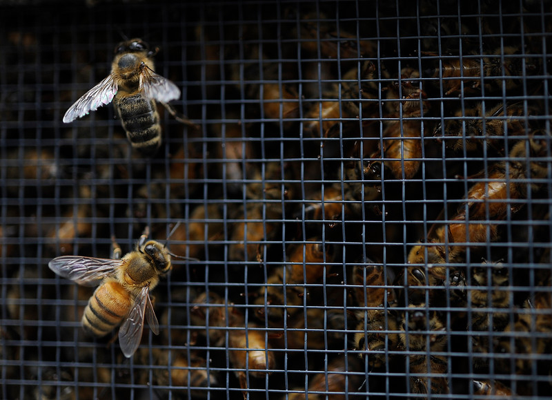 Carniolan honey bees crawl outside their crate containers at Cascade Farm and Outdoor as local beekeepers arrive to pick up their orders of bees in North Bend, Ore. on Saturday, April 22, 2017.