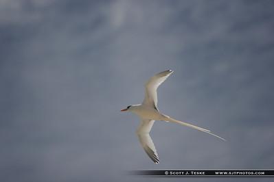 bermuda longtail -