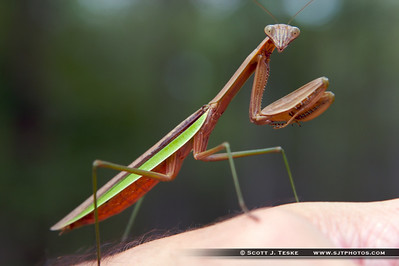mantis praying