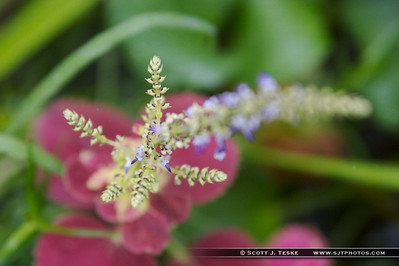 coleus in bloom