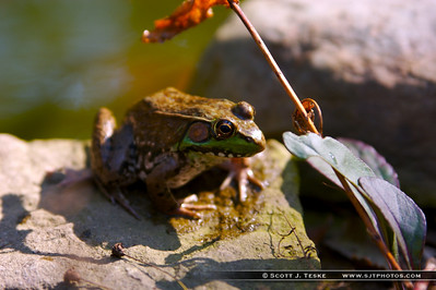 frog by the bog