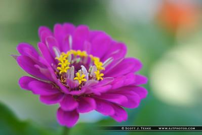 zinnia closeup