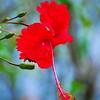 Painted Hibiscus - Costa Rica