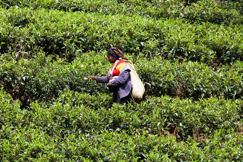 TEA PLANTATION. NUWARA ELIYA. HILL COUNTRY. SRI LANKA.