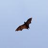 KANDY. BOTANICAL GARDEN. FLYING BAT. [2] CENTRAL SRI LANKA.